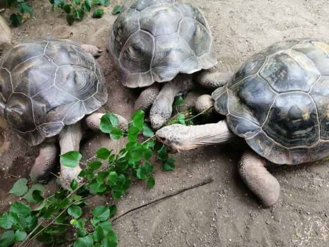 Giant tortoises at new exhibit, Giants of the Galápagos, at London Zoo